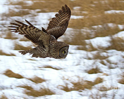 Photograph - The Dive- Great Gray Owl by Lloyd Alexander