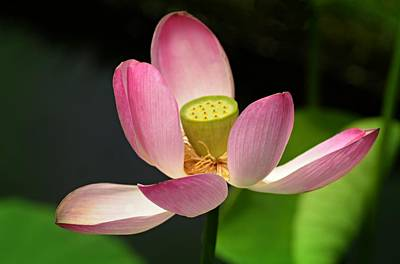 Photograph - The Divine Lotus by Diana Angstadt