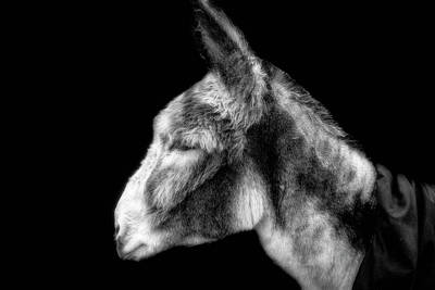 Photograph - The Donkey by Alan Campbell