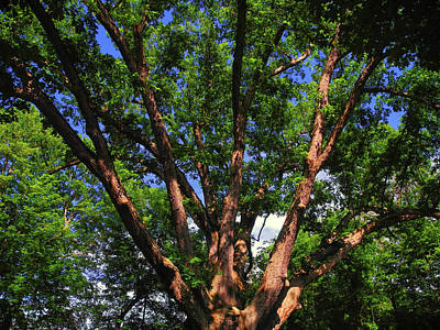 Photograph - The Dover Oak by Raymond Salani III