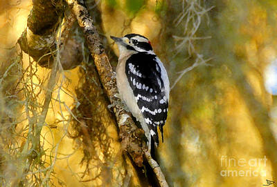 Picoides Pubescens Painting - The Downy Woodpecker by David Lee Thompson