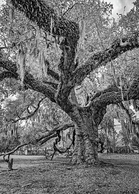 Photograph - The Dueling Oak 2 Bw by Steve Harrington