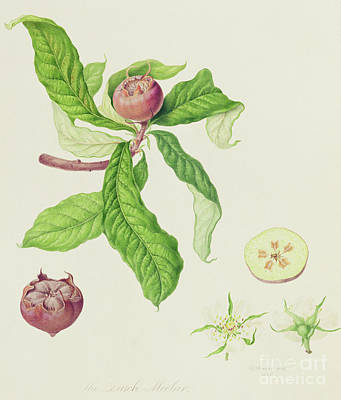 Food And Beverage Drawing - The Dutch Medlar by Wiliam Hooker