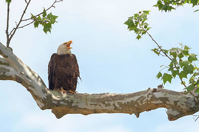 Photograph - The Eagle Calls 2 by Susan Rissi Tregoning