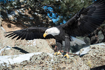 Photograph - The Eagle Has Landed by Art Atkins