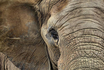 The Elephant Art Print by JC Findley