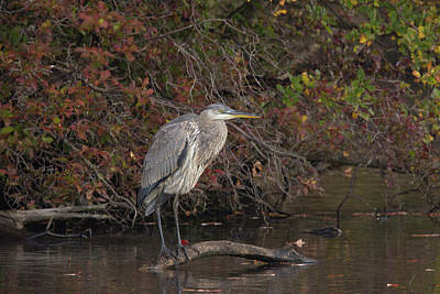 Belmont Lake State Park Wall Art - Photograph - The Elusive Heron On Belmont Lake by Joan D Squared Photography