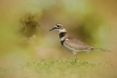 Killdeer Photograph - The Elusive Killdeer by Jai Johnson