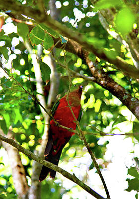 Photograph - The Elusive King Parrot by Miroslava Jurcik