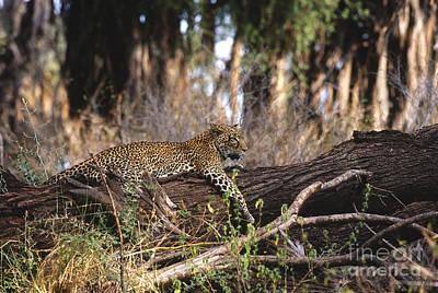 Photograph - The Elusive Leopard by Sandra Bronstein
