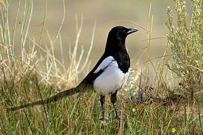 Magpies Wall Art - Photograph - The Elusive Magpie by Donna Kennedy