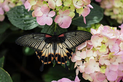 Photograph - The Enchantment Of Butterflies - A Gorgeous Swallowtail Complementing The Hydrangeas by Georgia Mizuleva