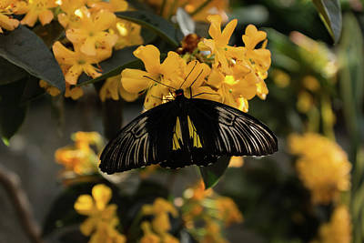 Photograph - The Enchantment Of Butterflies - Yellow Black And Silver Beauty by Georgia Mizuleva