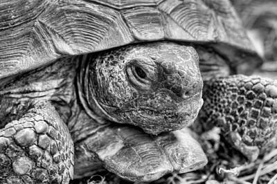Photograph - The Endangered Gopher Tortoise by JC Findley
