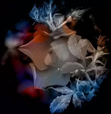 Photograph - English Rose At Dawn by Thom Zehrfeld