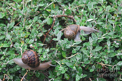 Photograph - The European Tree Snail by Donna L Munro