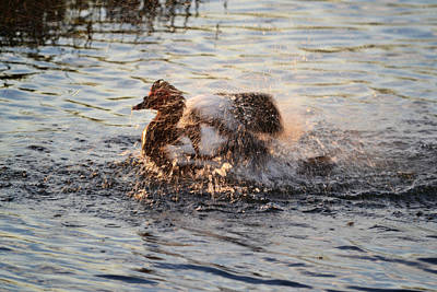 Photograph - The Evening Wash - Muscovy Drake Duck by rd Erickson