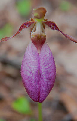 Photograph - The Ever So Rare Ladyslipper by Brenda Jacobs
