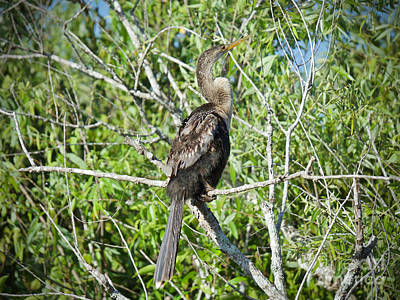 Photograph - The Everglades Anhinga by Judy Kay