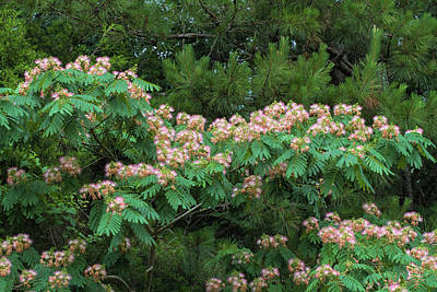 Photograph - The Exquisite Silk Tree Mimosa   by Kathy Clark