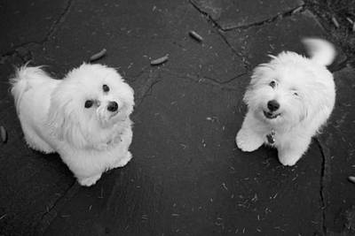 Coton Tulear Photograph - The Extrovert by Colleen Williams