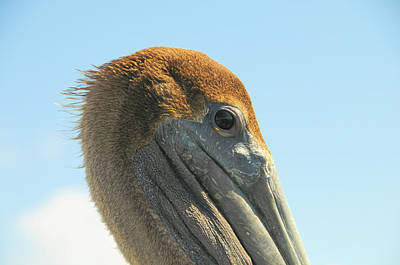 Photograph - The Eye Of A Pelican by Colleen Keller Breuning