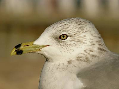Photograph - The Eye Of The Seagull by Jenny Regan