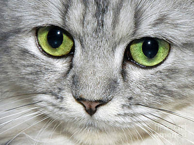 Print Cat Photograph - The Face by  Graham Taylor
