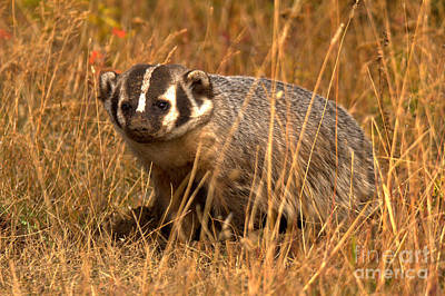 Photograph - The Face Of A Badger by Adam Jewell