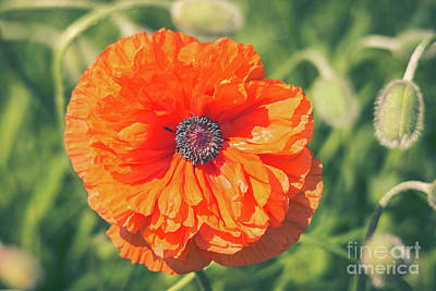 Photograph - The Face Of A Poppy by Cheryl Baxter
