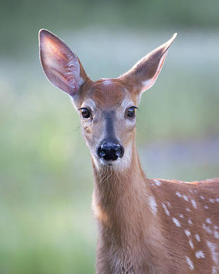 Photograph - The Fawn by Jack Bell