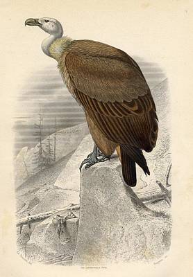 Vulture Drawing - The Fawn Vulture by Vintage Design Pics