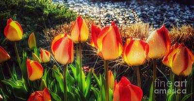 Photograph - The Fiery Glow Of Summer - Tulips After The Rain by Miriam Danar