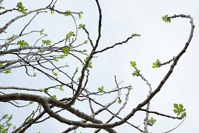 The Fig Tree Budding Art Print by Yoel Koskas