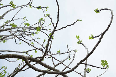 The Fig Tree Budding Art Print