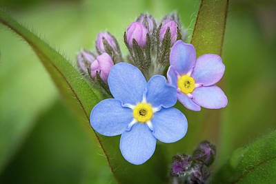 Photograph - The First Blossom Of The Forget Me Not by William Lee