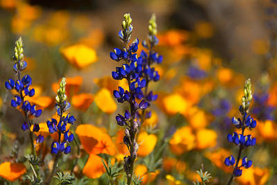 Photograph - The First Of The Spring Wildflowers  by Saija Lehtonen
