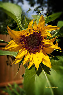 Photograph - The First Sunflower by Tom Buchanan