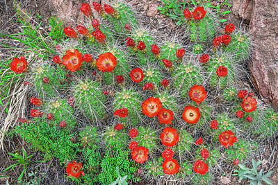 Photograph - The First Week Of May, Claret Cup Cacti Begin To Bloom Throughout The Colorado Rockies.  by Bijan Pirnia