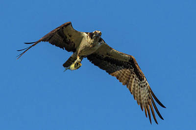 Photograph - The Flight Of The Osprey by Linda Unger