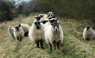 Photograph - The Flock 2 by Peter Skelton