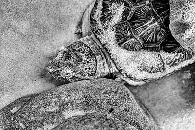The Florida Snapping Turtle Art Print by JC Findley