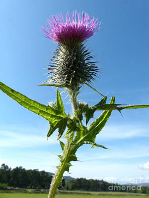 Photograph - The Flower Of Scotland  by Phil Banks