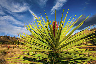Photograph - The Flowering Yucca by Kyle Findley