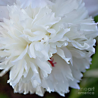 Photograph - The Flowing Petals Of A Peony by Sherry Hallemeier
