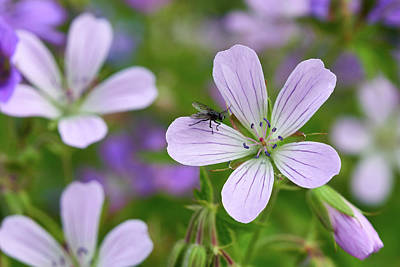 Photograph - The Fly And Wood Cranesbill by Jouko Lehto