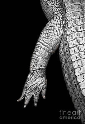 Photograph - The Foot And Leg Of An Albino Alligator Black And White Version by Jim Fitzpatrick