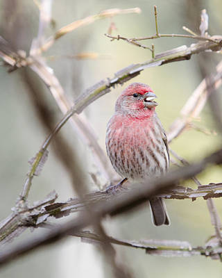 Photograph - The Forgotten House Finch by Janice Adomeit