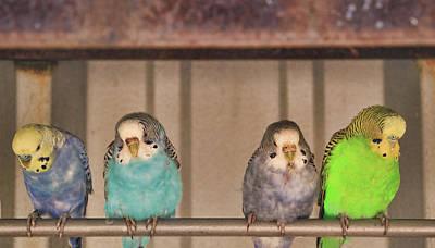 Watercolor Pet Portraits Photograph - Four Budgie Buddies by Allen Beatty