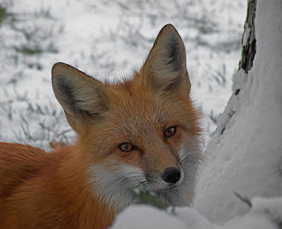 Photograph - The Fox 4 by Ernie Echols